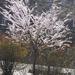 virágzó fa ellenfényben