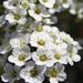 pici apró virág nagy illatal