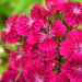 rózsaszín törökszegfű