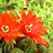 kaktusz piros