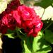 rózsamuskátli