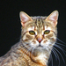 nézelődő cica2