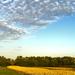 kukoricatábla az ártéren