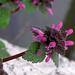 Piros árvacsalán - Lamium purpureum