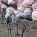 fázó nyakigláb madarak