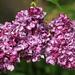 egy szál lila orgona