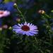 harmatos virágszál