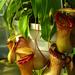 kancsóka (Nepenthes)