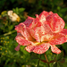 sziget (őszi)rózsái - a kis szeplős