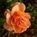 Sziget novemberi rózsája