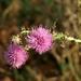 bogáncsvirág