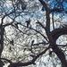szemezgető galambok