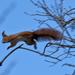 egyik ágról a másikra - repülő mókus