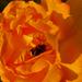 a rózsa méhe