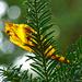 elakadt őszi falevél örökzöld tüskéin