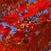 piros levelek