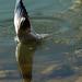 halászó sirály1