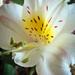 Bibe parádé- inka liliom