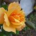 Album - Minden ami rózsa