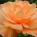 Rózsáim 157