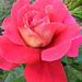 Rózaáim 236