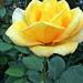 Rózsáim 1618