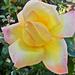 Rózsáim 1721