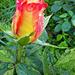 Rózsáim 3476