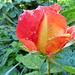 Rózsáim 3475