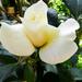 Rózsáim 3505
