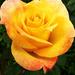 Rózsáim 3605