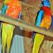 Ékes papagályok,legújabb szerzeményeim 1223