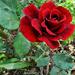 Rózsa 2552