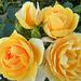 Angol rózsa 4094