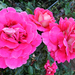 Szeptemberi rózsáim 4697