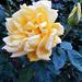 Szeptemberi rózsáim 4698