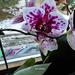 Orchideáim 5083
