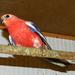Bourk papagáj 6532