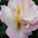 Rózsa 7649
