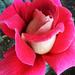 Rózsa 8450