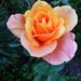 Rózsáim 9222