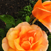 Rózsám 0526