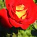 Rózsáim 0561