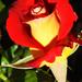 Rózsáim 0567