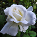 Rózsáim 1063