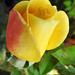 Rózsáim 1664