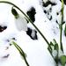 Hóvirág 1785
