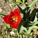 Tulipán 1946