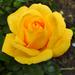 Rózsáim 1992