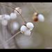 fehér-bogyó